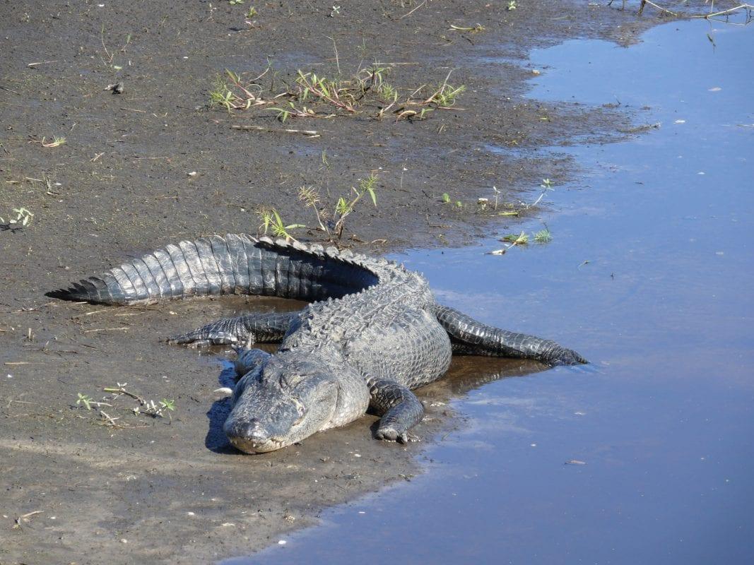 Alligator In Myakka State Park