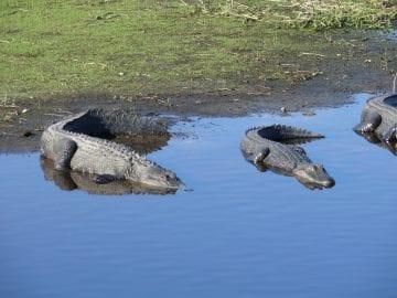 Myakka State Park Alligators using the Sun to Warm Themselves